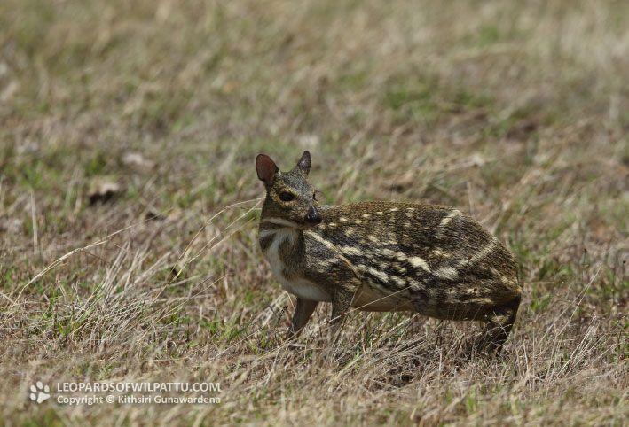 Afbeeldingsresultaat voor Spotted chevrotains (Moschiola