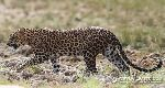 Leopards of Wilpattu