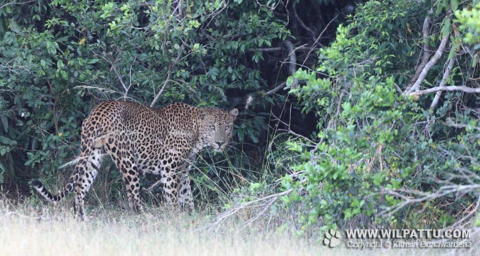 Nelum Wila Male 3-NWM 3 - 22nd April 2017 at 5.28pm