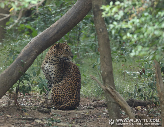 Thammanna Wala Female 2-THWF 2 - 28th August 2015 at 6.31am